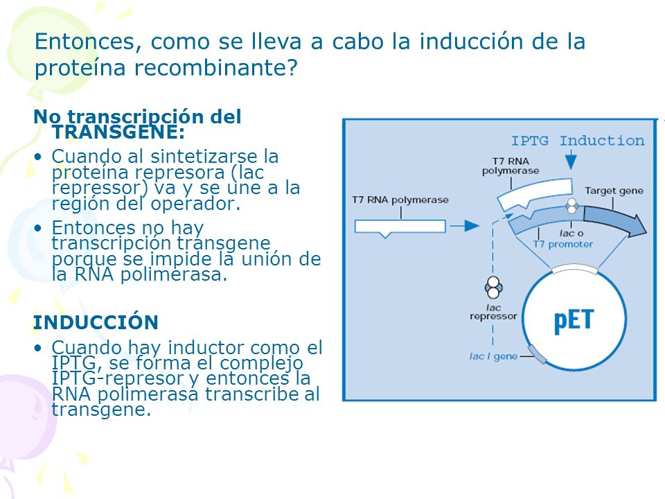 Entonces, como se lleva a cabo la inducción de la proteína recombinante