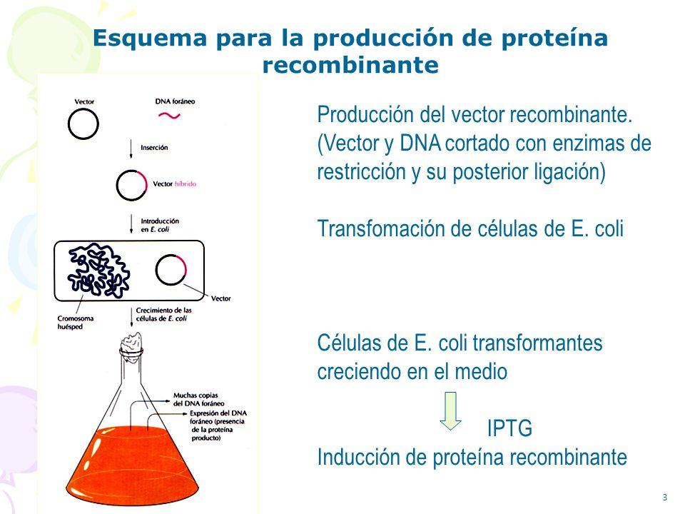 Esquema para la producción de proteína recombinante