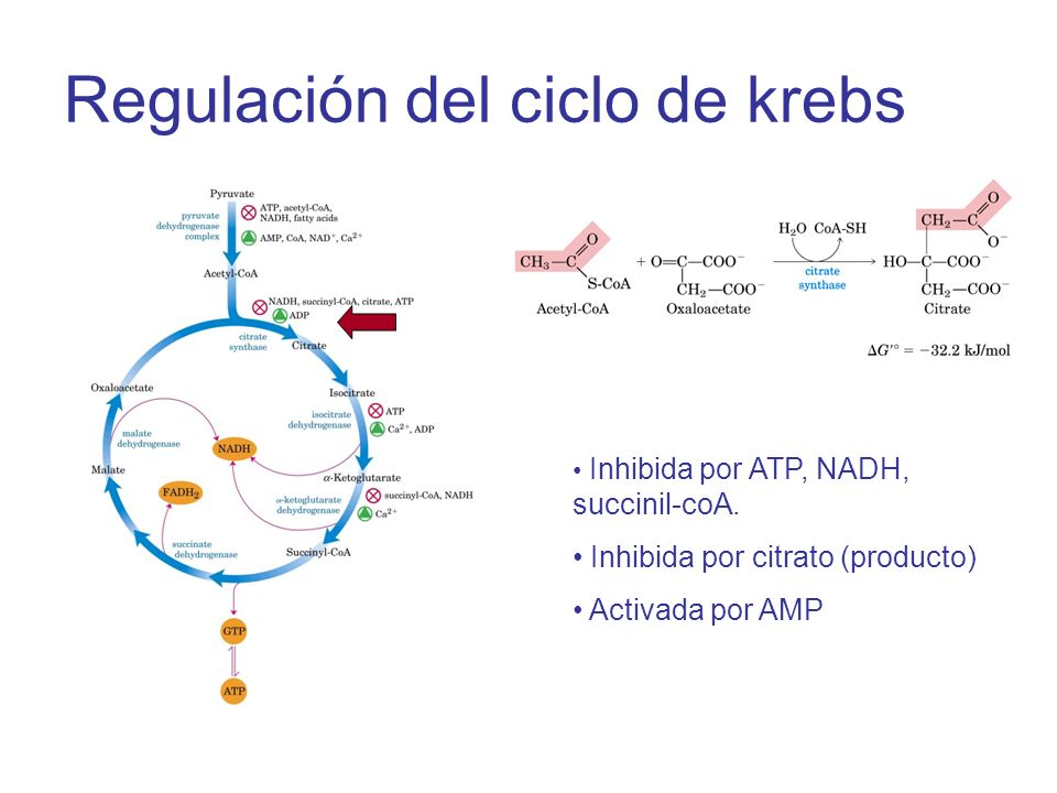 Regulación del ciclo de krebs