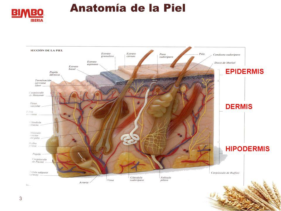 Atractivo Anatomía De La Piel Mr Colección - Anatomía de Las ...