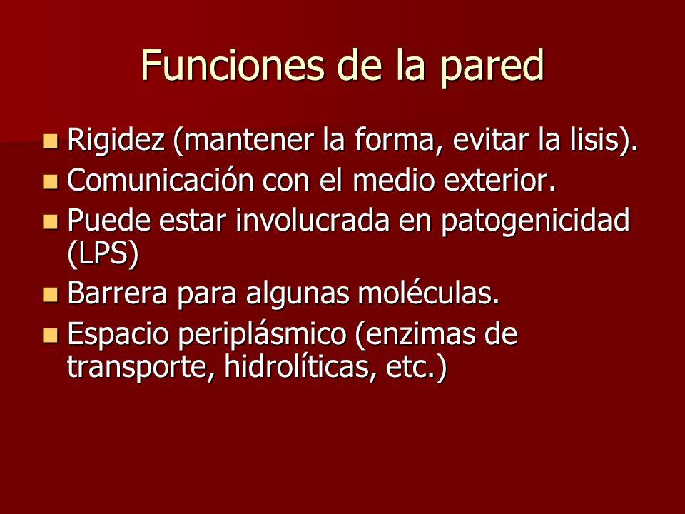 Funciones de la pared Rigidez (mantener la forma, evitar la lisis).