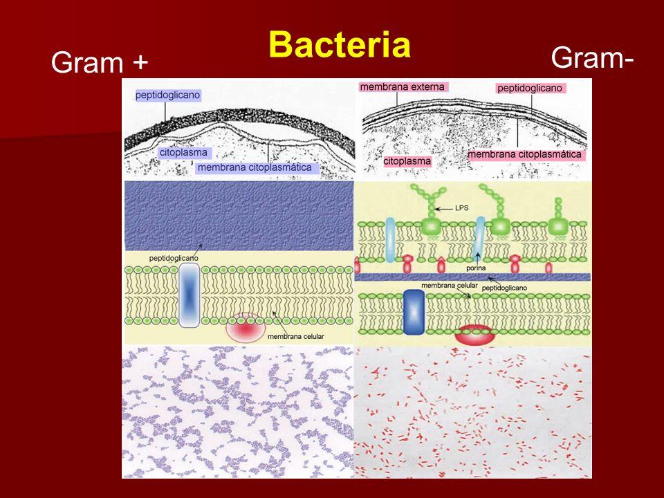 Gram- Bacteria Gram +