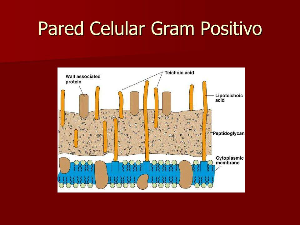Pared Celular Gram Positivo