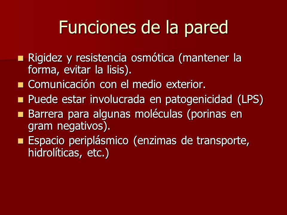 Funciones de la paredRigidez y resistencia osmótica (mantener la forma, evitar la lisis). Comunicación con el medio exterior.