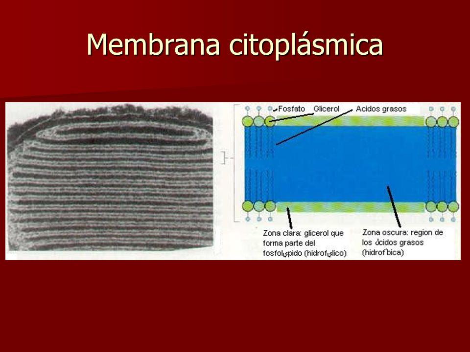 Membrana citoplásmica