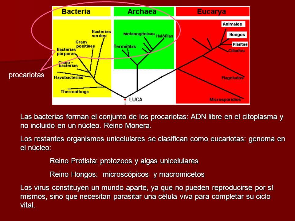 procariotasLas bacterias forman el conjunto de los procariotas: ADN libre en el citoplasma y no incluido en un núcleo. Reino Monera.