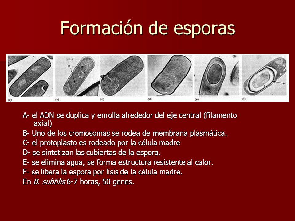 Formación de esporas A- el ADN se duplica y enrolla alrededor del eje central (filamento axial)