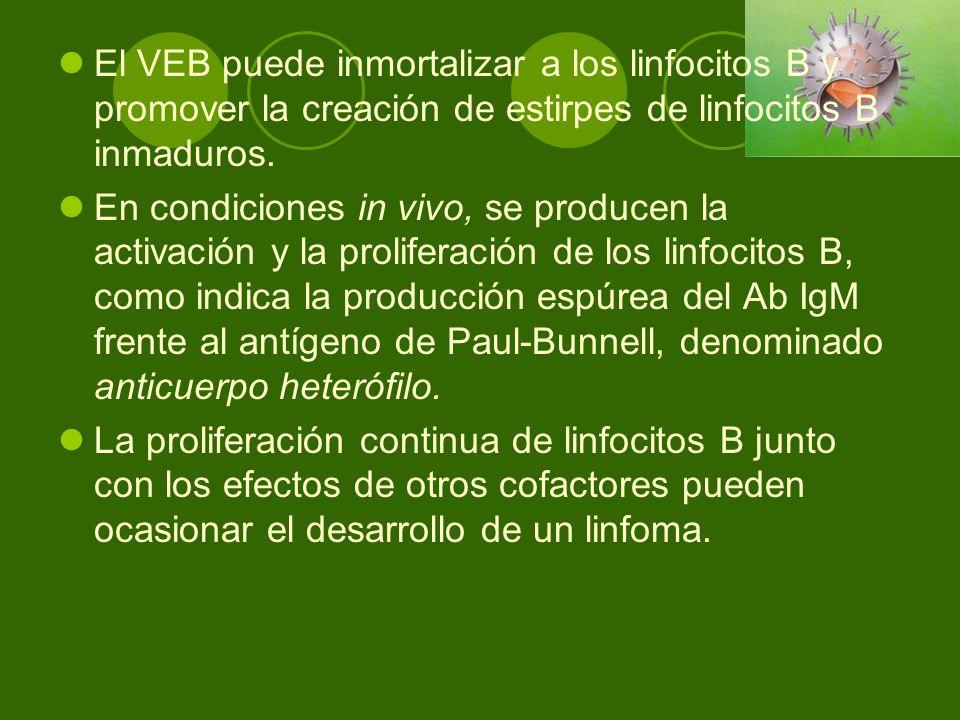 El VEB puede inmortalizar a los linfocitos B y promover la creación de estirpes de linfocitos B inmaduros.