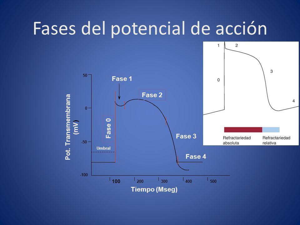 Fases del potencial de acción