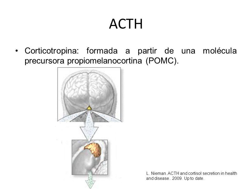 ACTH Corticotropina: formada a partir de una molécula precursora propiomelanocortina (POMC).