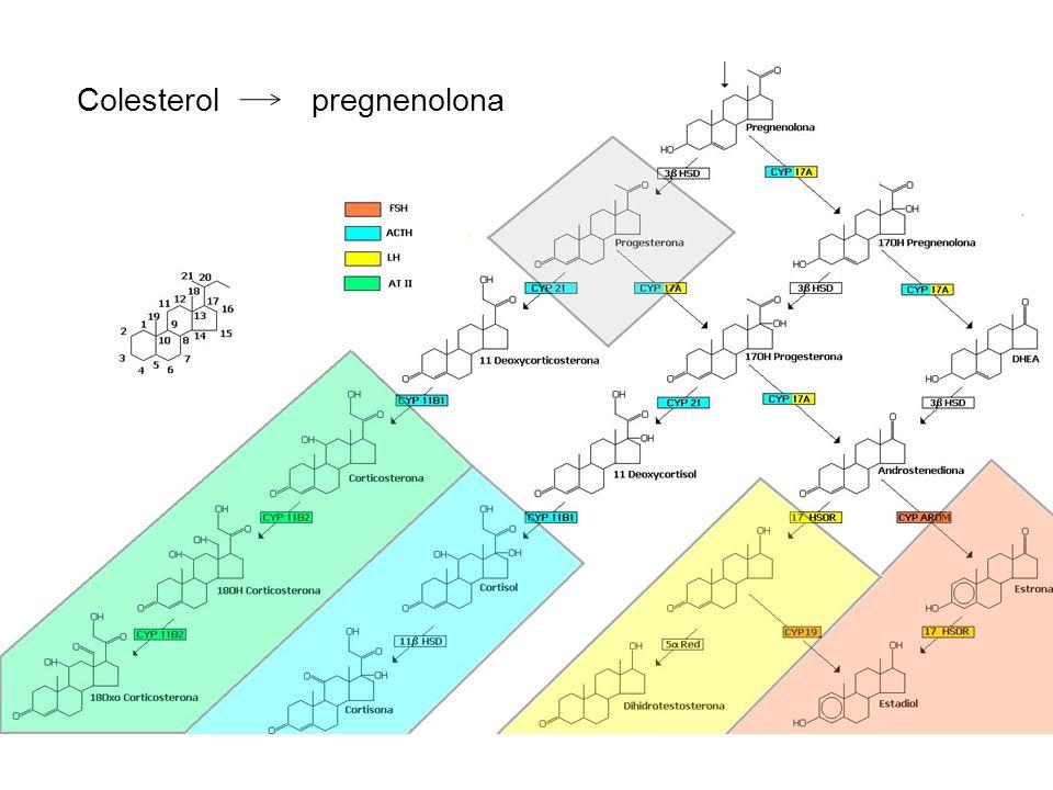 Colesterol pregnenolona