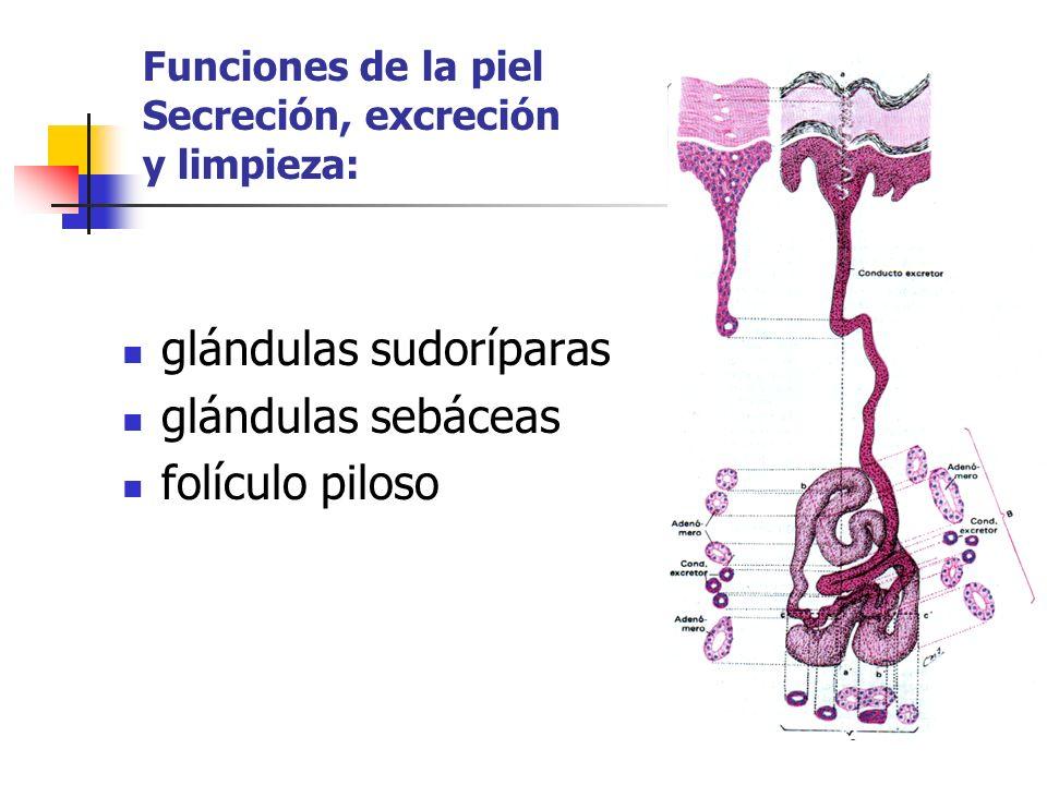 Funciones de la piel Secreción, excreción y limpieza:
