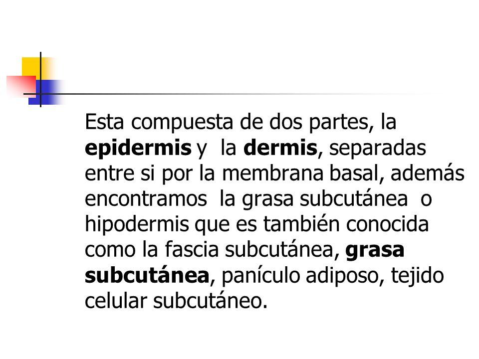 Esta compuesta de dos partes, la epidermis y la dermis, separadas entre si por la membrana basal, además encontramos la grasa subcutánea o hipodermis que es también conocida como la fascia subcutánea, grasa subcutánea, panículo adiposo, tejido celular subcutáneo.