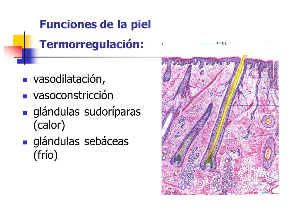 Funciones de la piel Termorregulación: