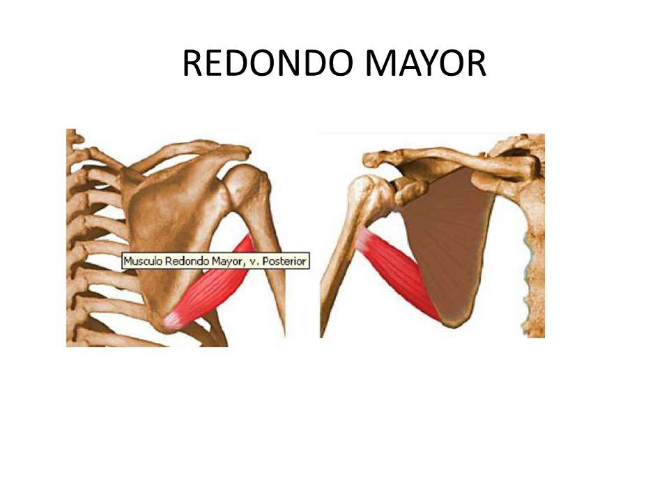 Famoso Músculo Redondo Mayor Ideas - Imágenes de Anatomía Humana ...