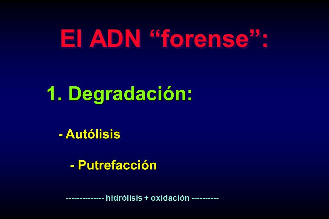 El ADN forense : 1. Degradación: - Autólisis - Putrefacción