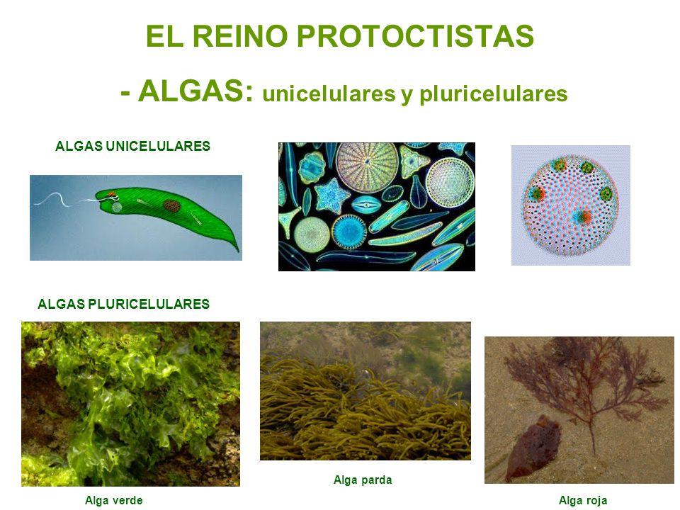 EL REINO PROTOCTISTAS - ALGAS: unicelulares y pluricelulares