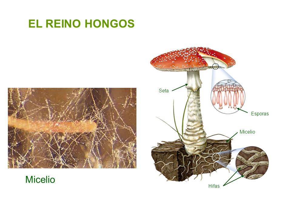 EL REINO HONGOS Seta Esporas Micelio Micelio Hifas