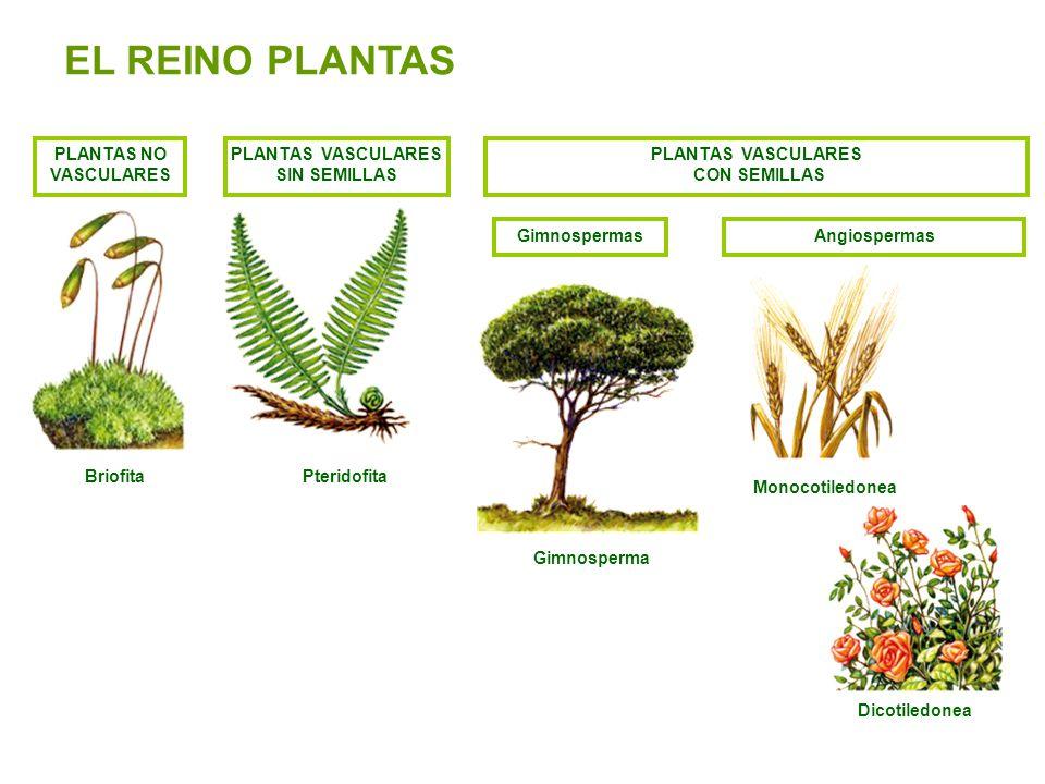 PLANTAS VASCULARES SIN SEMILLAS PLANTAS VASCULARES CON SEMILLAS