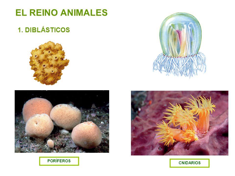 EL REINO ANIMALES 1. DIBLÁSTICOS PORÍFEROS CNIDARIOS