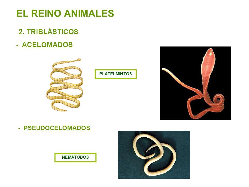 EL REINO ANIMALES 2. TRIBLÁSTICOS - ACELOMADOS - PSEUDOCELOMADOS