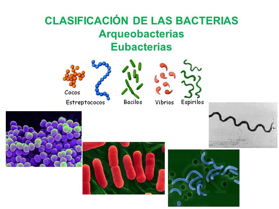 CLASIFICACIÓN DE LAS BACTERIAS Arqueobacterias Eubacterias