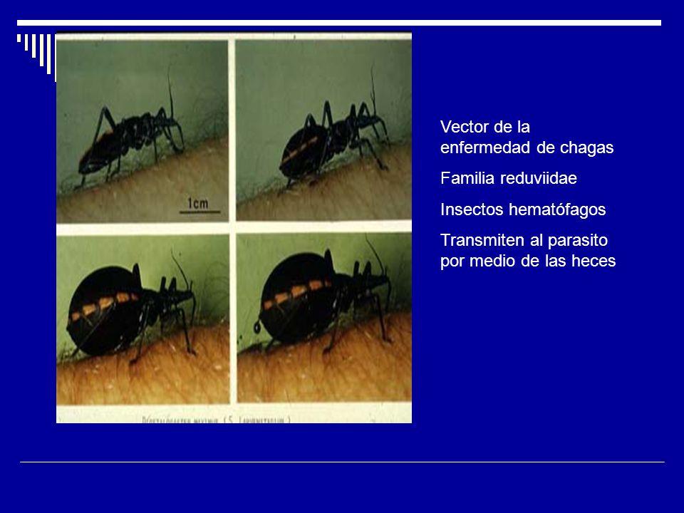 Vector de la enfermedad de chagas