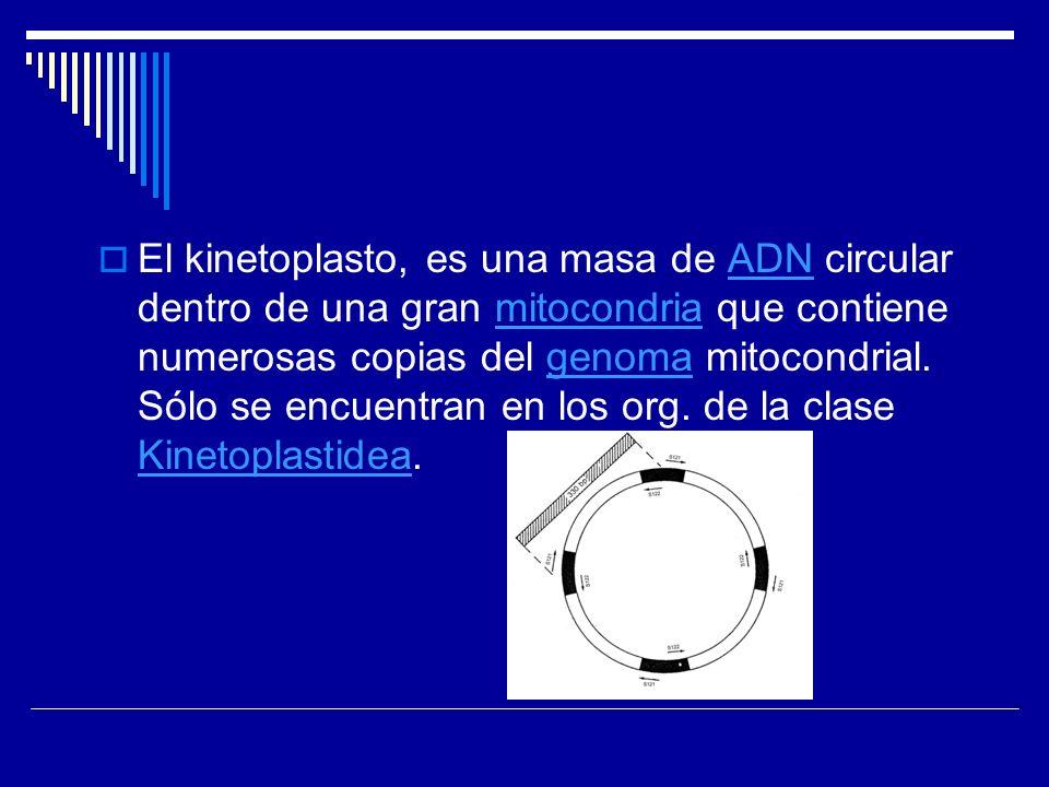 El kinetoplasto, es una masa de ADN circular dentro de una gran mitocondria que contiene numerosas copias del genoma mitocondrial.