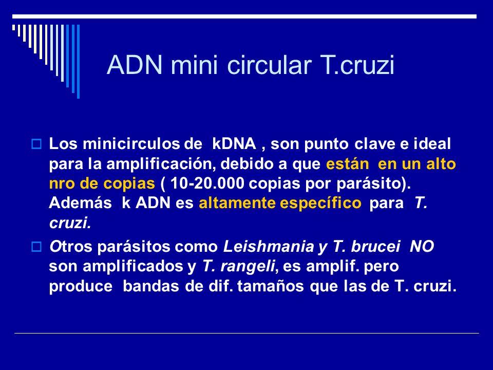 ADN mini circular T.cruzi