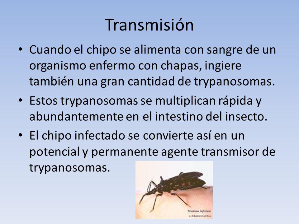 Transmisión Cuando el chipo se alimenta con sangre de un organismo enfermo con chapas, ingiere también una gran cantidad de trypanosomas.
