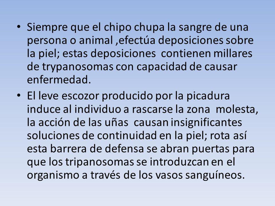 Siempre que el chipo chupa la sangre de una persona o animal ,efectúa deposiciones sobre la piel; estas deposiciones contienen millares de trypanosomas con capacidad de causar enfermedad.