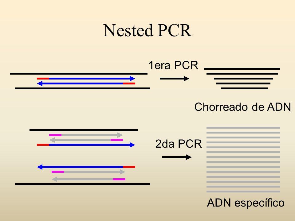 Nested PCR 1era PCR Chorreado de ADN 2da PCR ADN específico