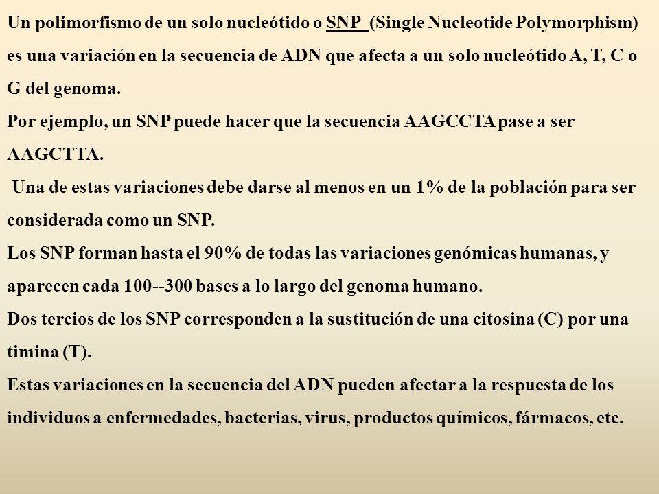 Un polimorfismo de un solo nucleótido o SNP (Single Nucleotide Polymorphism) es una variación en la secuencia de ADN que afecta a un solo nucleótido A, T, C o G del genoma.