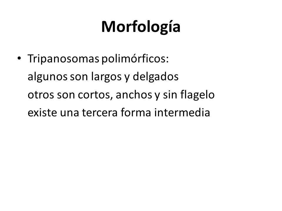 Morfología Tripanosomas polimórficos: algunos son largos y delgados