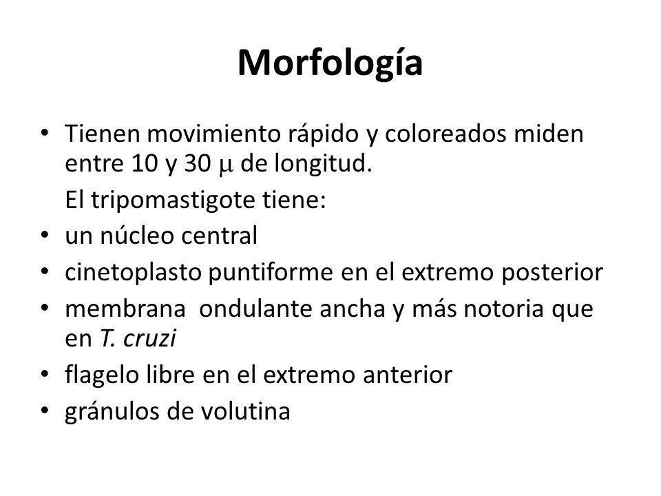 MorfologíaTienen movimiento rápido y coloreados miden entre 10 y 30  de longitud. El tripomastigote tiene:
