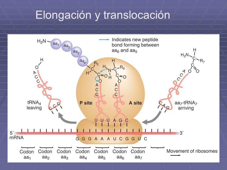 Elongación y translocación