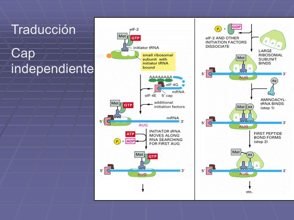 eIF3 Traducción Cap independiente