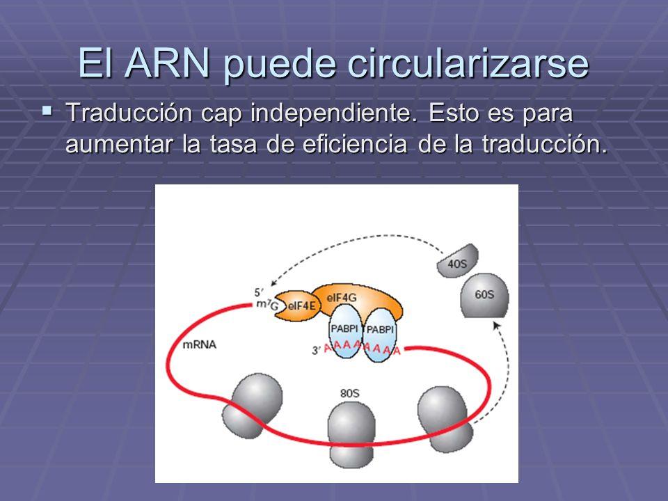 El ARN puede circularizarse