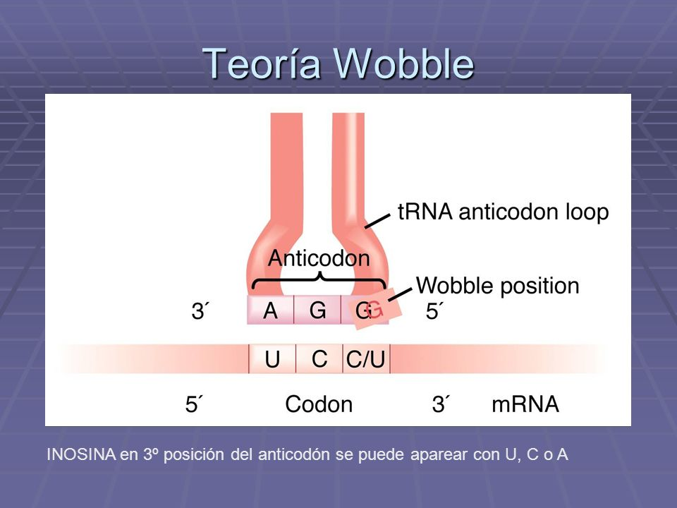 Teoría Wobble INOSINA en 3º posición del anticodón se puede aparear con U, C o A