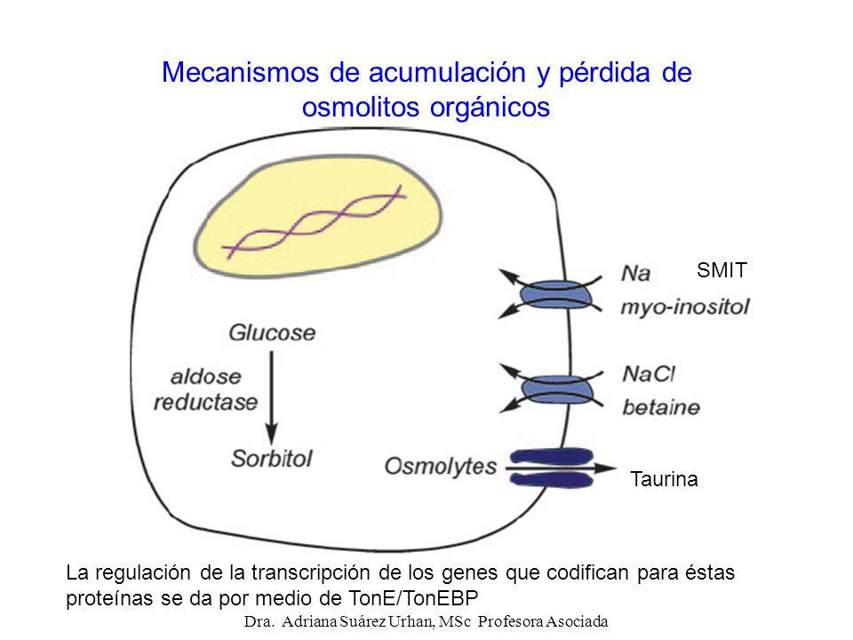Mecanismos de acumulación y pérdida de osmolitos orgánicos