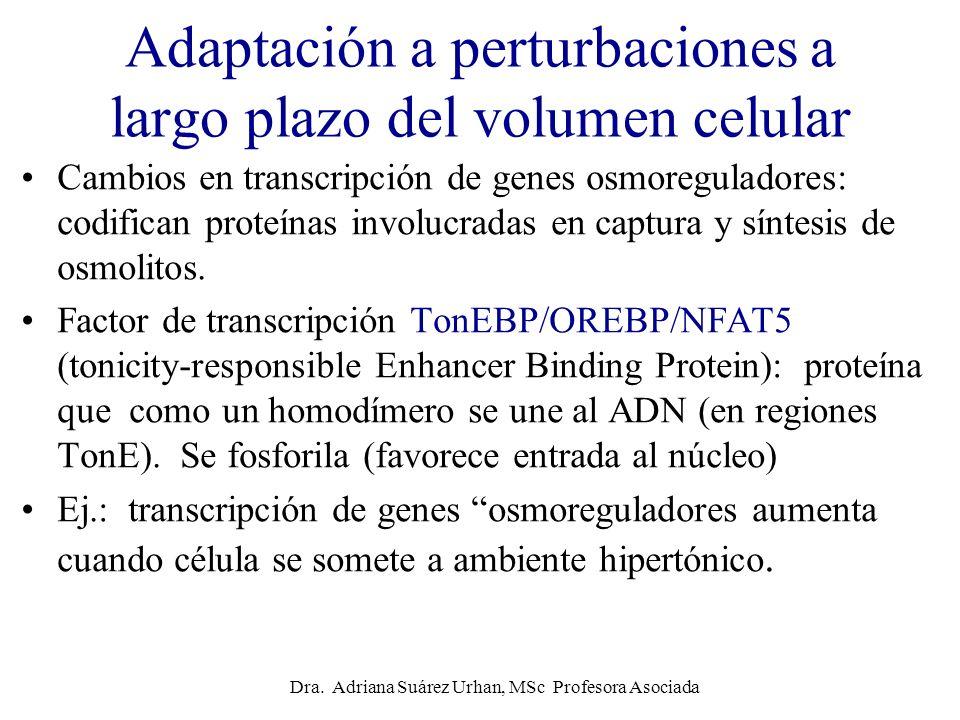 Adaptación a perturbaciones a largo plazo del volumen celular
