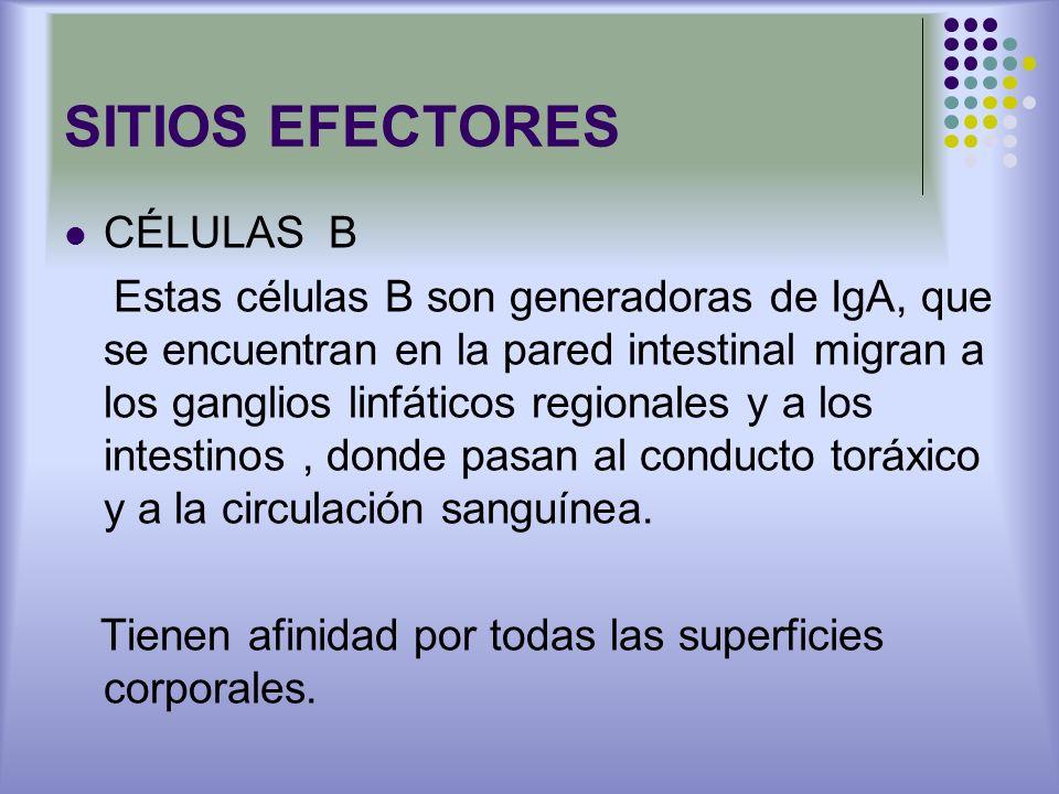SITIOS EFECTORES CÉLULAS B