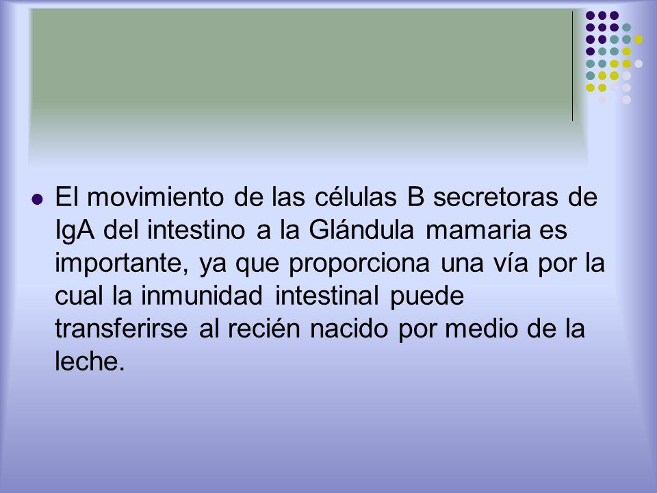 El movimiento de las células B secretoras de IgA del intestino a la Glándula mamaria es importante, ya que proporciona una vía por la cual la inmunidad intestinal puede transferirse al recién nacido por medio de la leche.