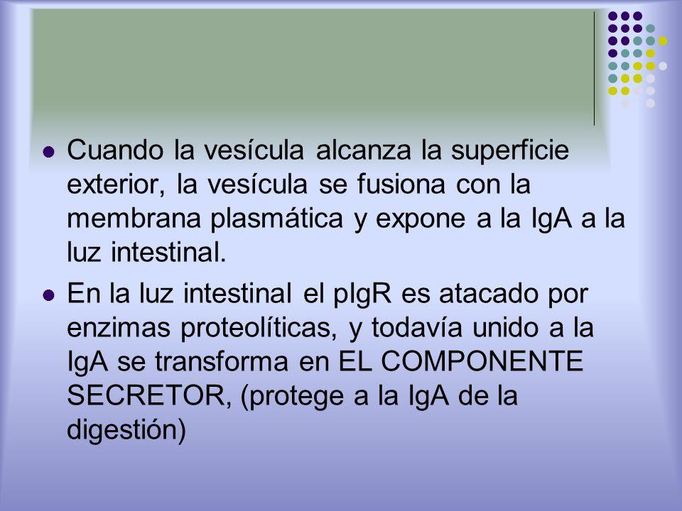 Cuando la vesícula alcanza la superficie exterior, la vesícula se fusiona con la membrana plasmática y expone a la IgA a la luz intestinal.