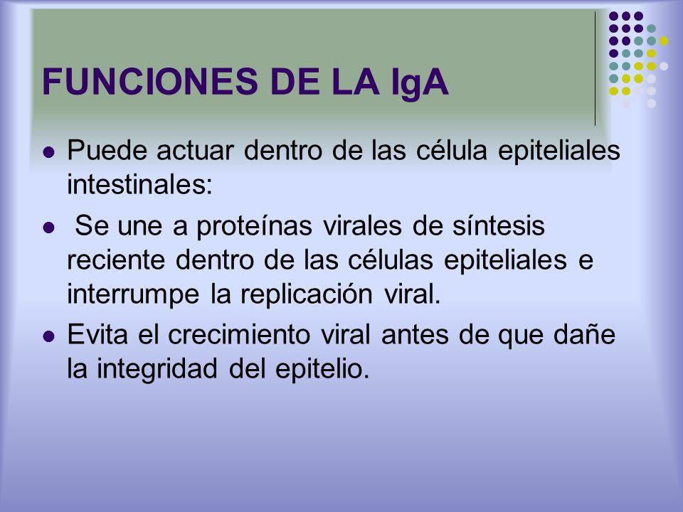 FUNCIONES DE LA IgA Puede actuar dentro de las célula epiteliales intestinales: