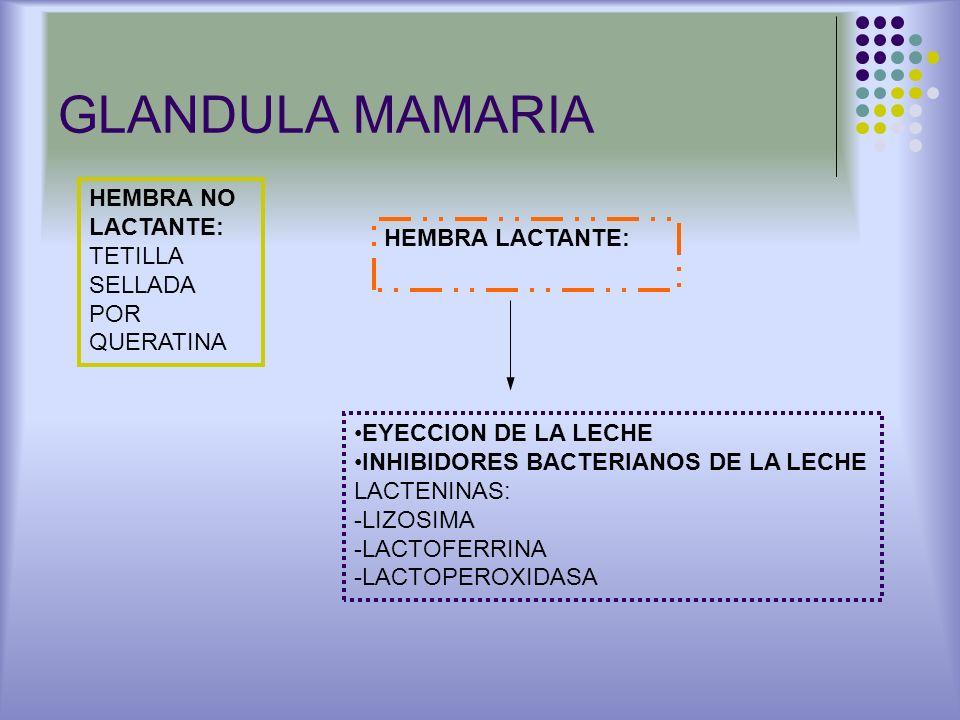 GLANDULA MAMARIA HEMBRA NO LACTANTE: TETILLA SELLADA POR QUERATINA