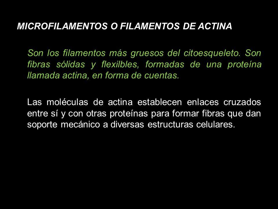 MICROFILAMENTOS O FILAMENTOS DE ACTINA Son los filamentos más gruesos del citoesqueleto.