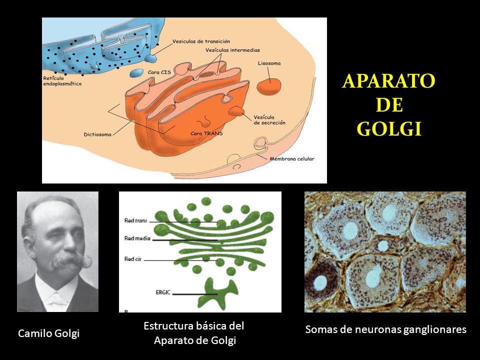 APARATO DE GOLGI Estructura básica del Somas de neuronas ganglionares