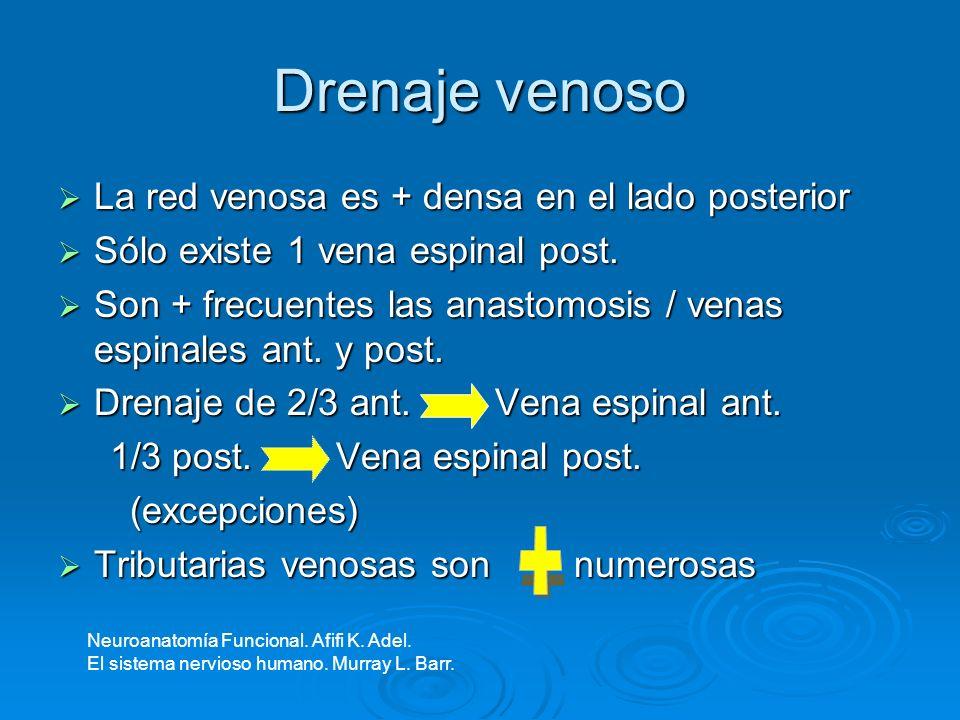 Drenaje venoso + La red venosa es + densa en el lado posterior