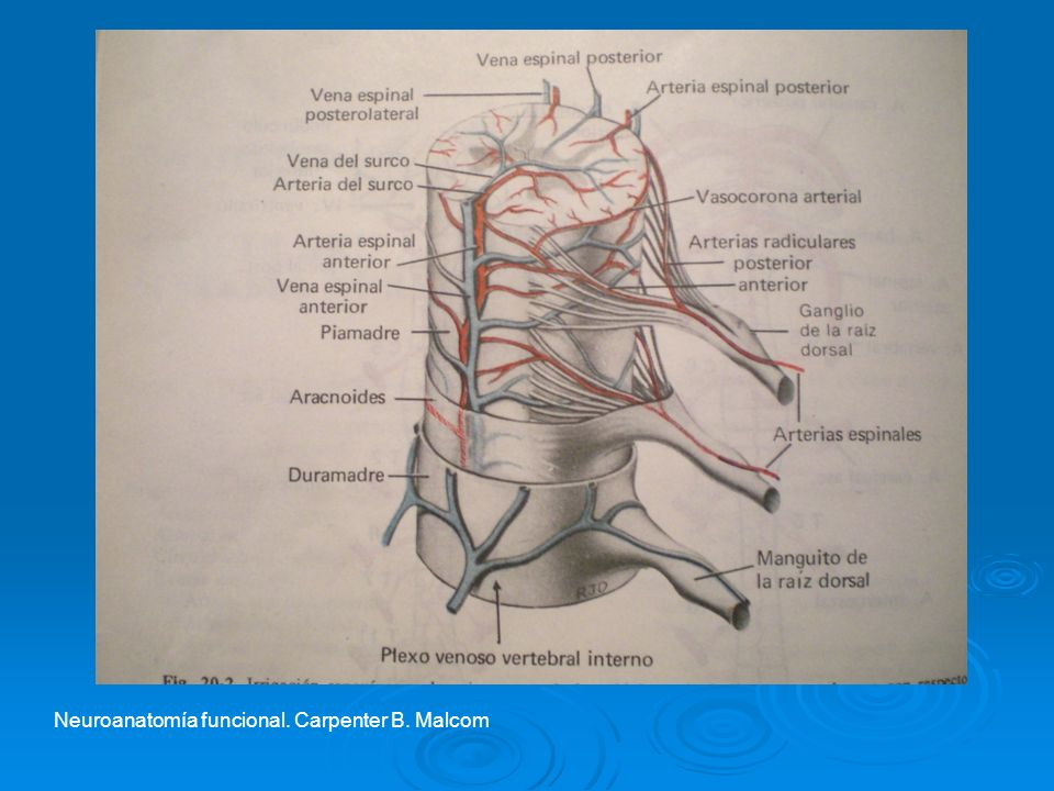 Neuroanatomía funcional. Carpenter B. Malcom
